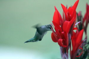 Ruby-throated hummingbirds average around 53 beats per second.