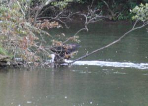 Bald eagle swims with something for dinner, back to the island